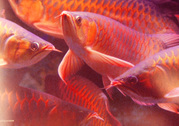 Top Quality Asian red arowana and others for sale