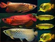 BUY AROWANA FISH NOW!!!!!!!!!VERY CHEAP!!!!!!!!!!!!!!PRICES REDUCED