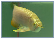 PREMIUM QUALITY AROWANA AND FRESHWATER STINGRAY FOR SALE